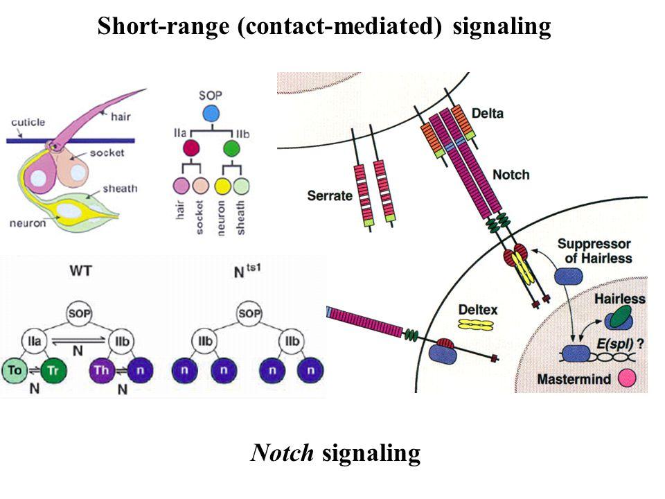 Short-range (contact-mediated) signaling Notch signaling