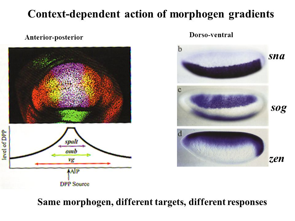 Context-dependent action of morphogen gradients Anterior-posterior Dorso-ventral Same morphogen, different targets, different responses sna sog zen