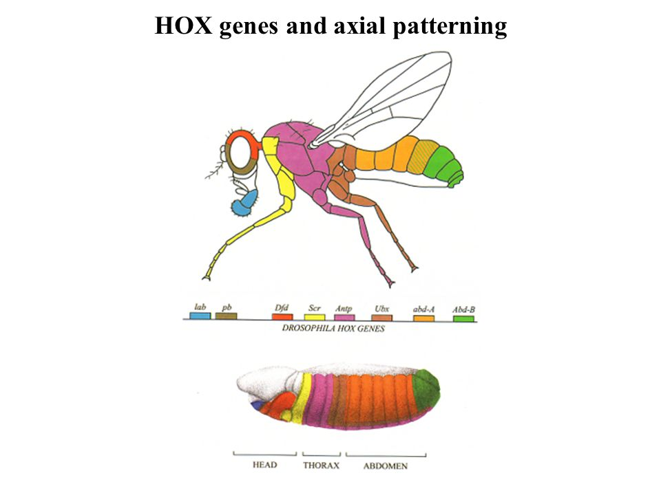 HOX genes and axial patterning