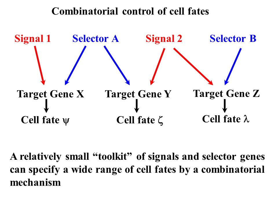 Combinatorial control of cell fates Signal 1Signal 2Selector ASelector B Target Gene XTarget Gene Y Target Gene Z Cell fate  Cell fate  Cell fate A relatively small toolkit of signals and selector genes can specify a wide range of cell fates by a combinatorial mechanism