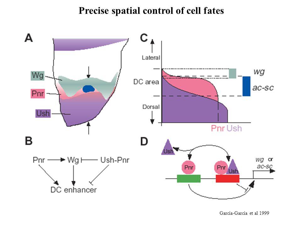 Precise spatial control of cell fates Garcia-Garcia et al 1999