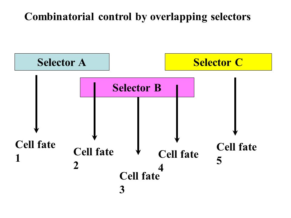 Combinatorial control by overlapping selectors Selector A Selector B Selector C Cell fate 1 Cell fate 2 Cell fate 3 Cell fate 4 Cell fate 5