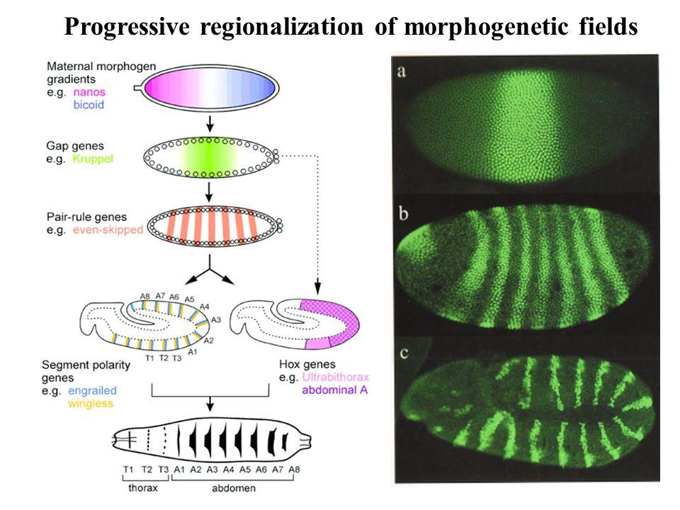 Progressive regionalization of morphogenetic fields