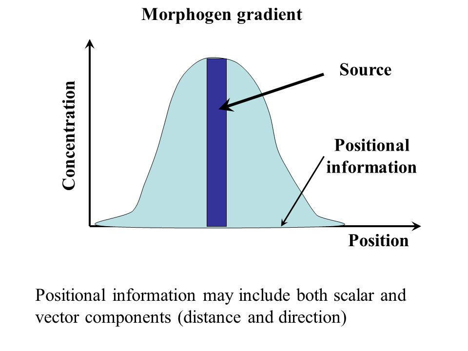 Morphogen gradient Source Position Concentration Positional information Positional information may include both scalar and vector components (distance and direction)
