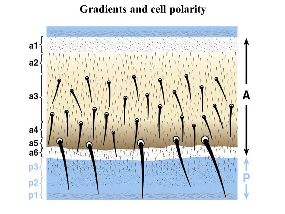 Gradients and cell polarity