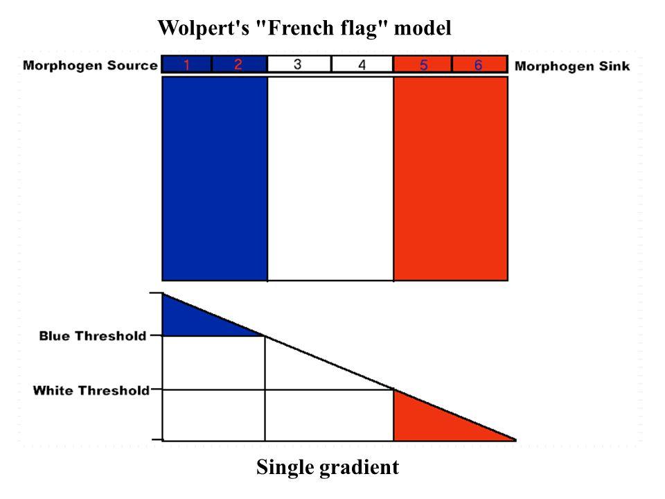 Wolpert s French flag model Single gradient