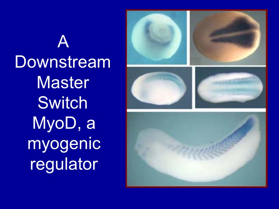 MyoD, a myogenic regulator A Downstream Master Switch