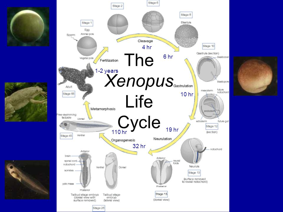 4 hr 6 hr 10 hr 19 hr 32 hr 110 hr 1-2 years The Xenopus Life Cycle