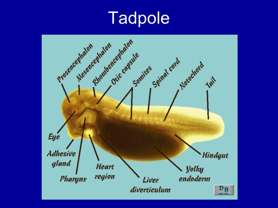Tadpole