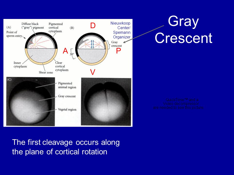 Gray Crescent The first cleavage occurs along the plane of cortical rotation Nieuwkoop Center/ Spemann Organizer A P DVDV