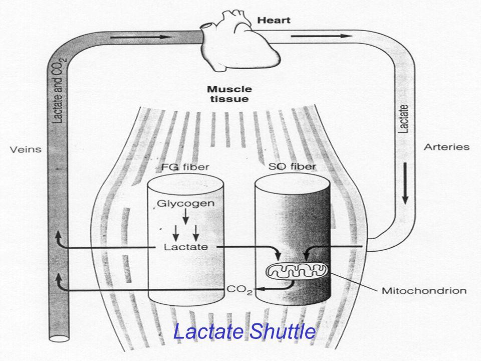 Lactate Shuttle