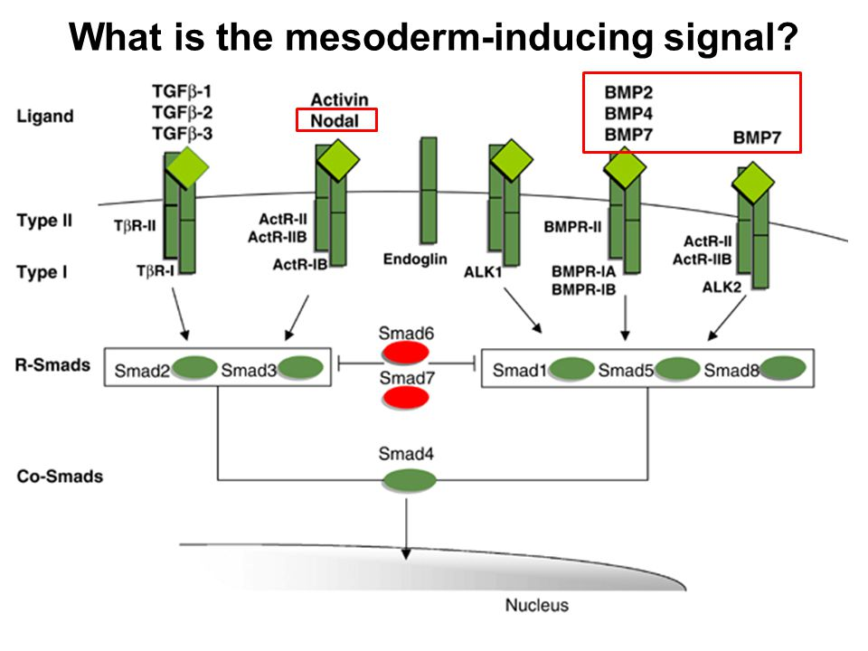 What is the mesoderm-inducing signal