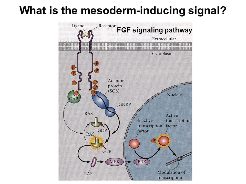 FGF signaling pathway
