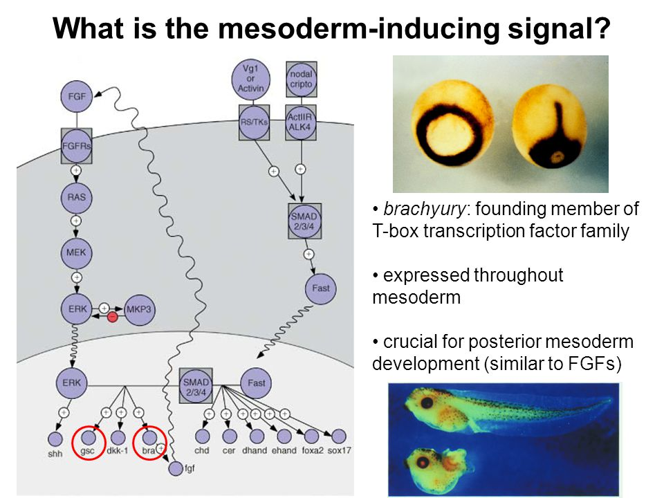 What is the mesoderm-inducing signal.