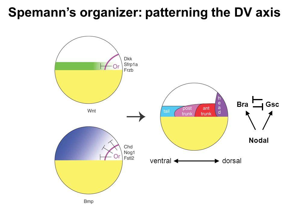 Spemann's organizer: patterning the DV axis dorsalventral Nodal GscBra