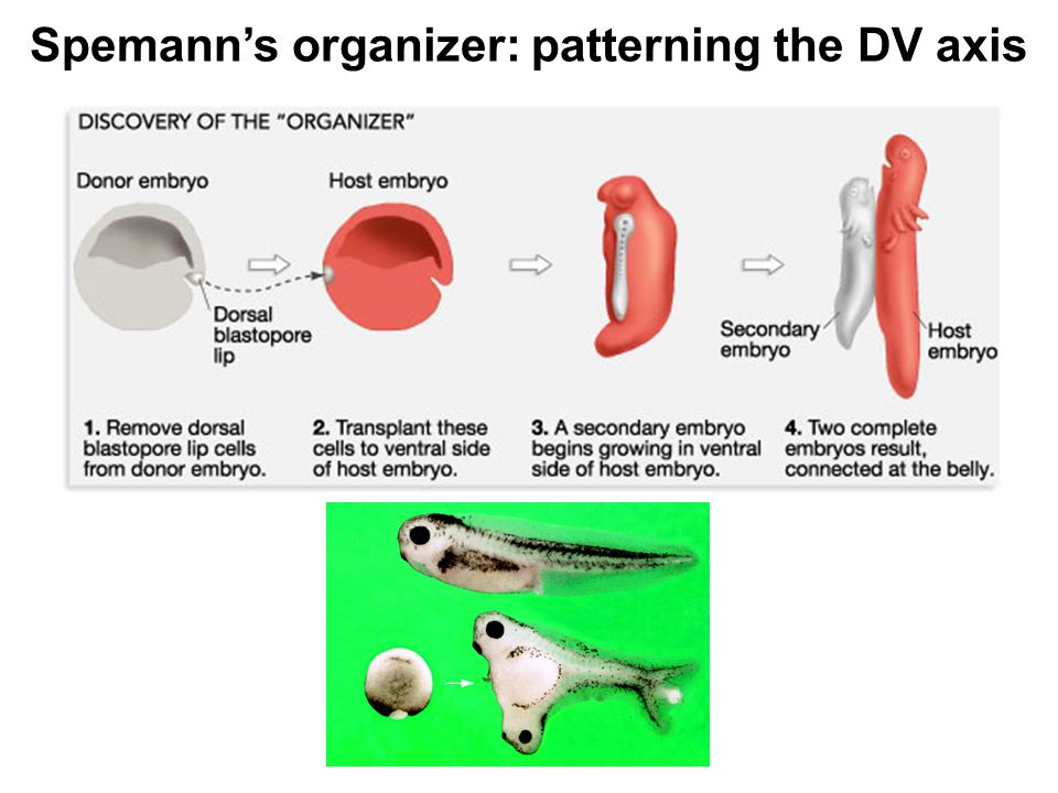 Spemann's organizer: patterning the DV axis