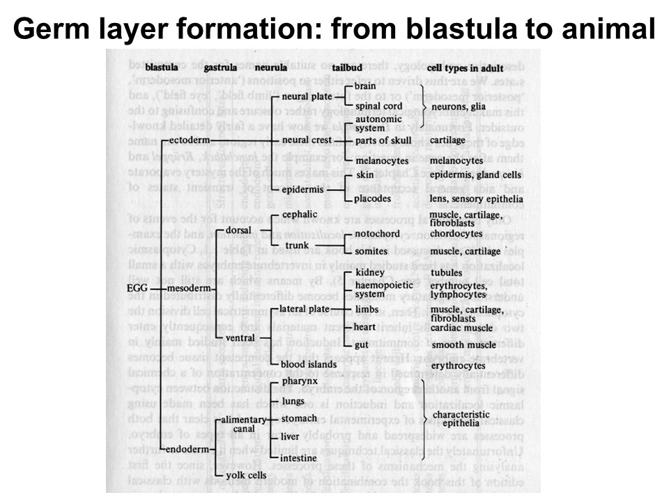 Germ layer formation: from blastula to animal
