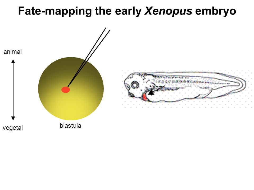 Fate-mapping the early Xenopus embryo blastula animal vegetal