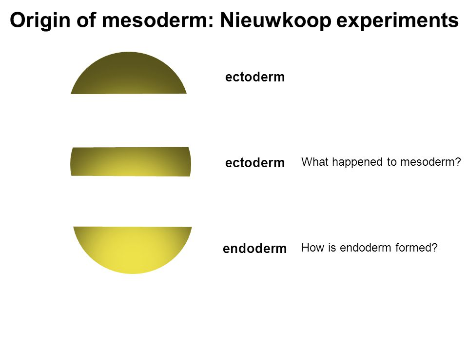 Origin of mesoderm: Nieuwkoop experiments ectoderm endoderm ectoderm What happened to mesoderm.