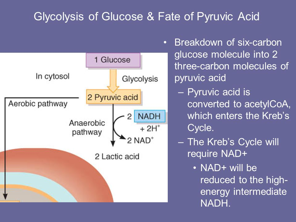Glycolysis in Ten Steps ADP