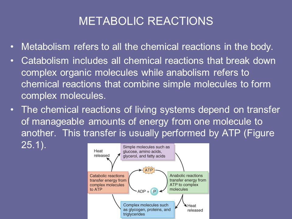 METABOLIC ADAPTATIONS Your metabolic reactions depends on how recently you have eaten.