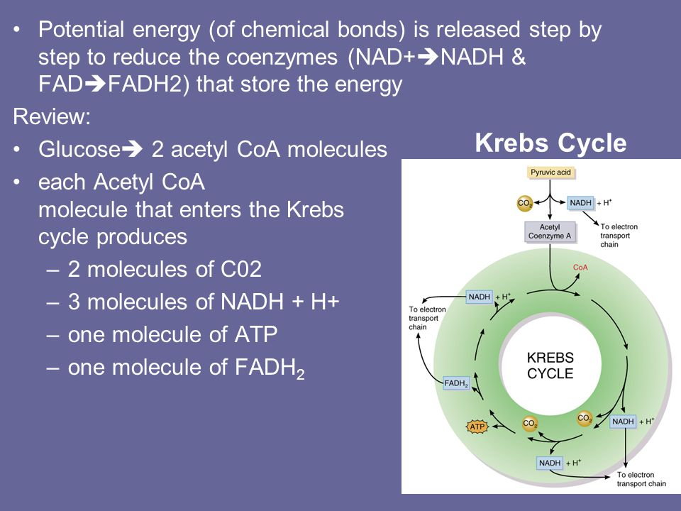 Krebs Cycle (Citric Acid Cycle) The oxidation-reduction & decarboxylation reactions occur in matrix of mitochondria. –acetyl CoA (2C) enters at top &