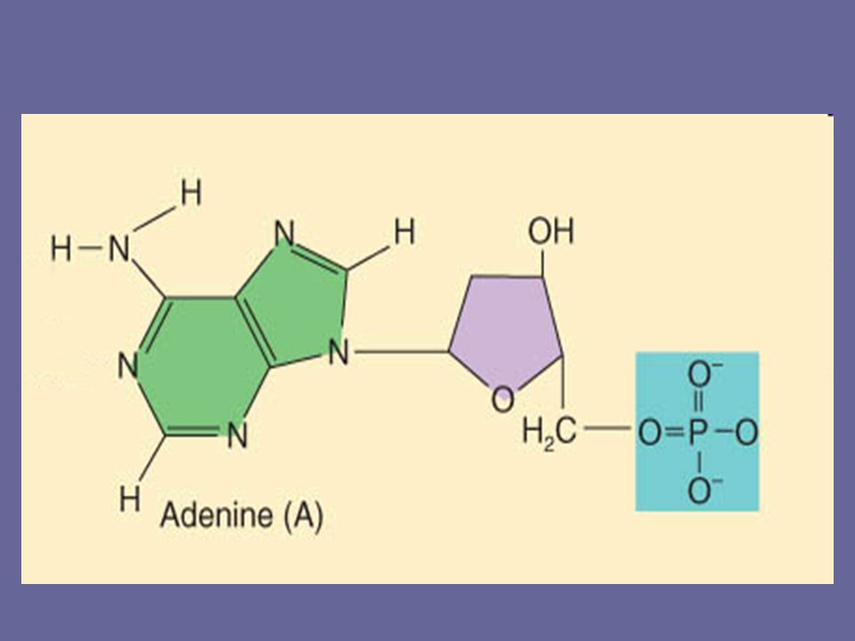 DNA Nucleotides