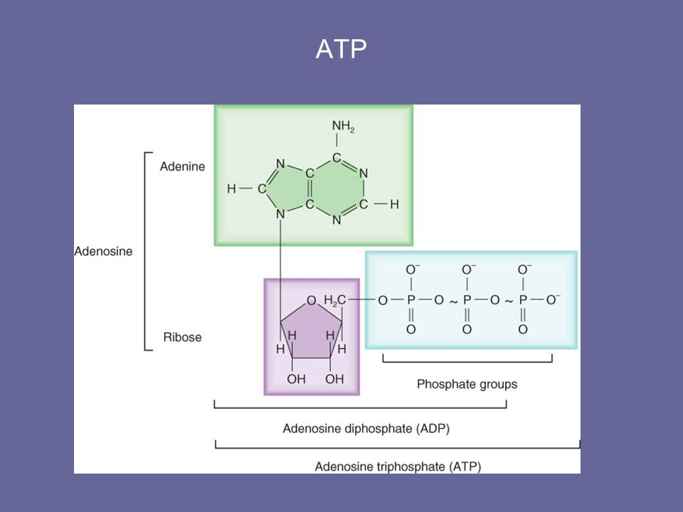 Lipid Catabolism: Lipolysis Glycerol can be converted into glucose by conversion into glyceraldehyde-3-phosphate.