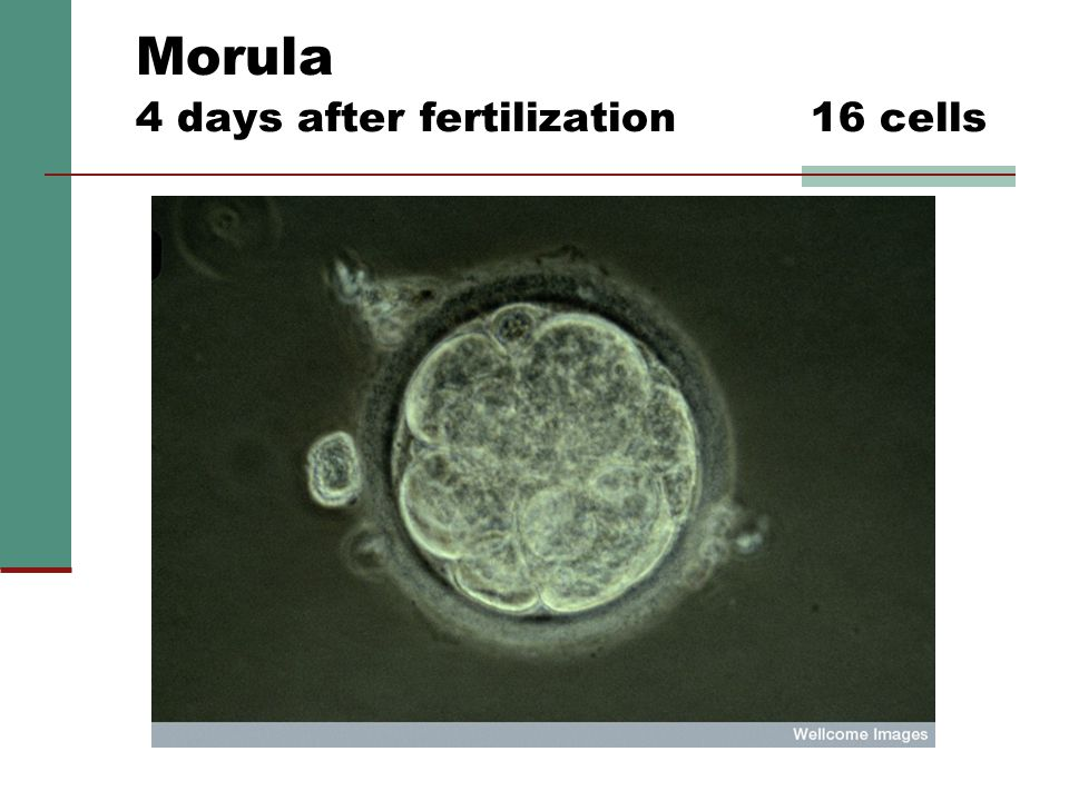 Morula 4 days after fertilization 16 cells Source: Florida Institute for Reproductive Science and Technologies