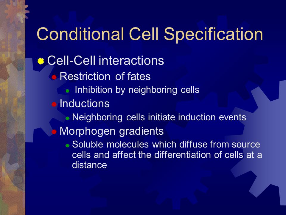  Cell-Cell interactions  Restriction of fates  Inhibition by neighboring cells  Inductions  Neighboring cells initiate induction events  Morphogen gradients  Soluble molecules which diffuse from source cells and affect the differentiation of cells at a distance Conditional Cell Specification