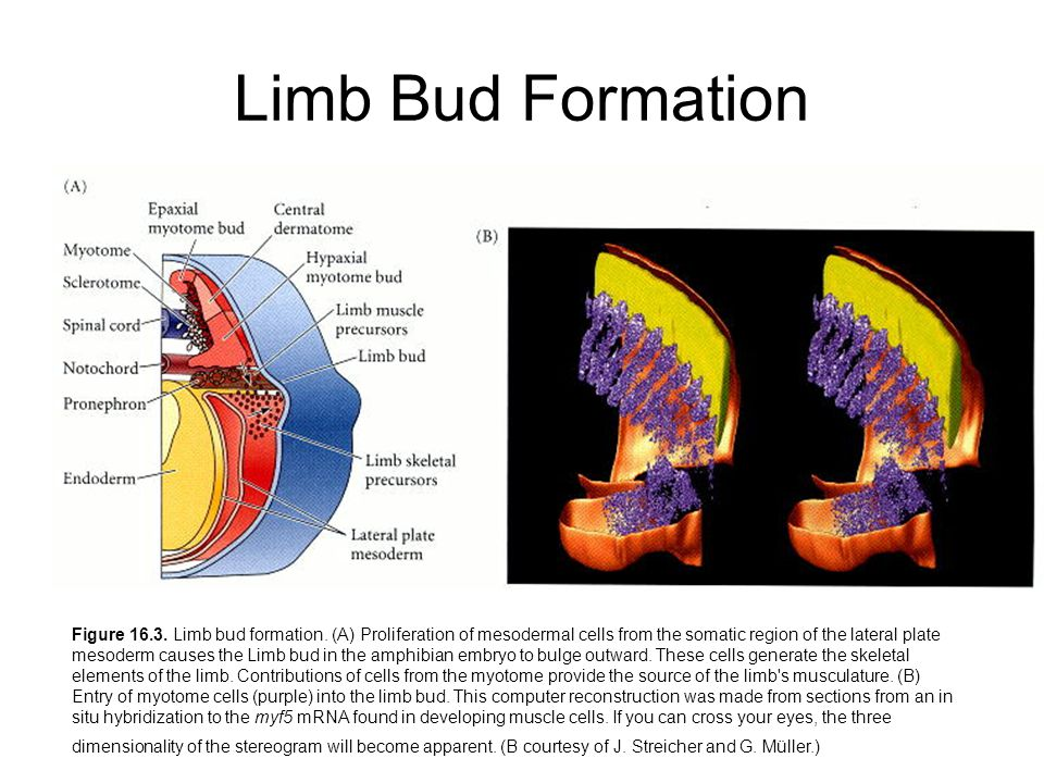 Limb Bud Formation Figure 16.3. Limb bud formation.