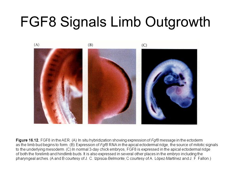 FGF8 Signals Limb Outgrowth Figure 16.12. FGF8 in the AER.