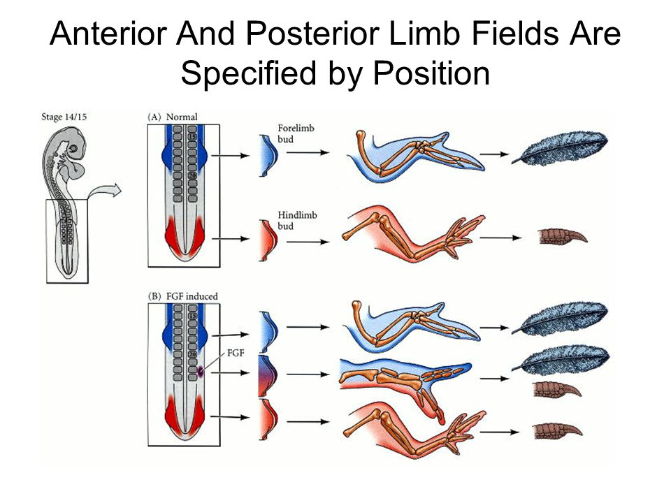 Anterior And Posterior Limb Fields Are Specified by Position