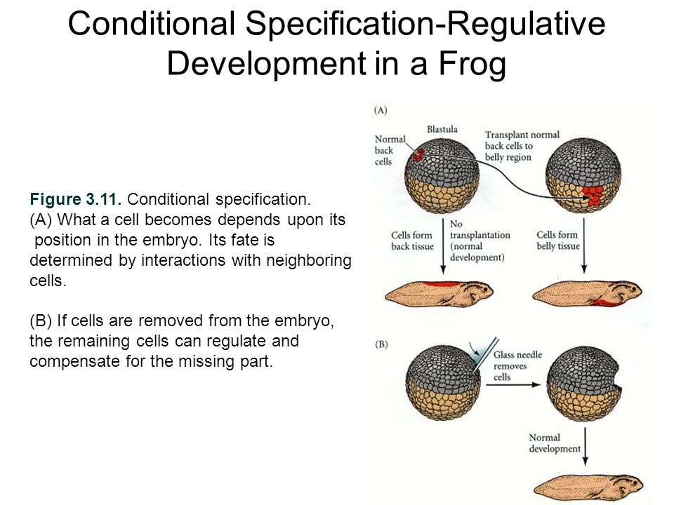 Conditional Specification-Regulative Development in a Frog Figure 3.11.