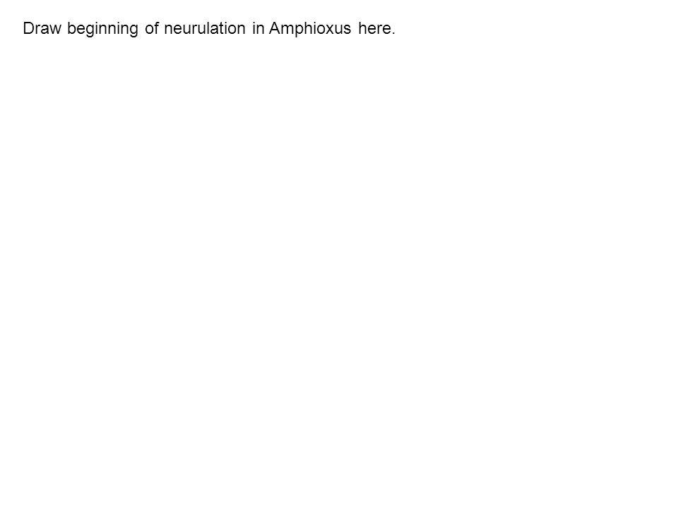 Draw beginning of neurulation in Amphioxus here.