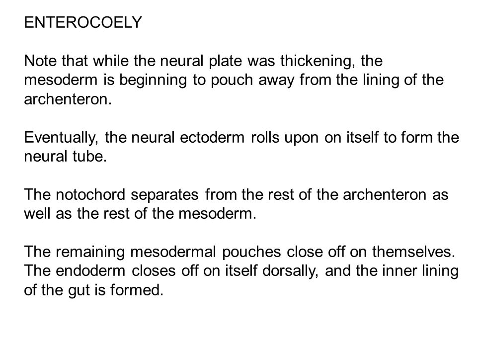 ENTEROCOELY Note that while the neural plate was thickening, the mesoderm is beginning to pouch away from the lining of the archenteron. Eventually, t