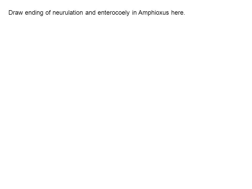 Draw ending of neurulation and enterocoely in Amphioxus here.