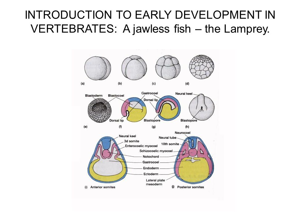 INTRODUCTION TO EARLY DEVELOPMENT IN VERTEBRATES: A jawless fish – the Lamprey.