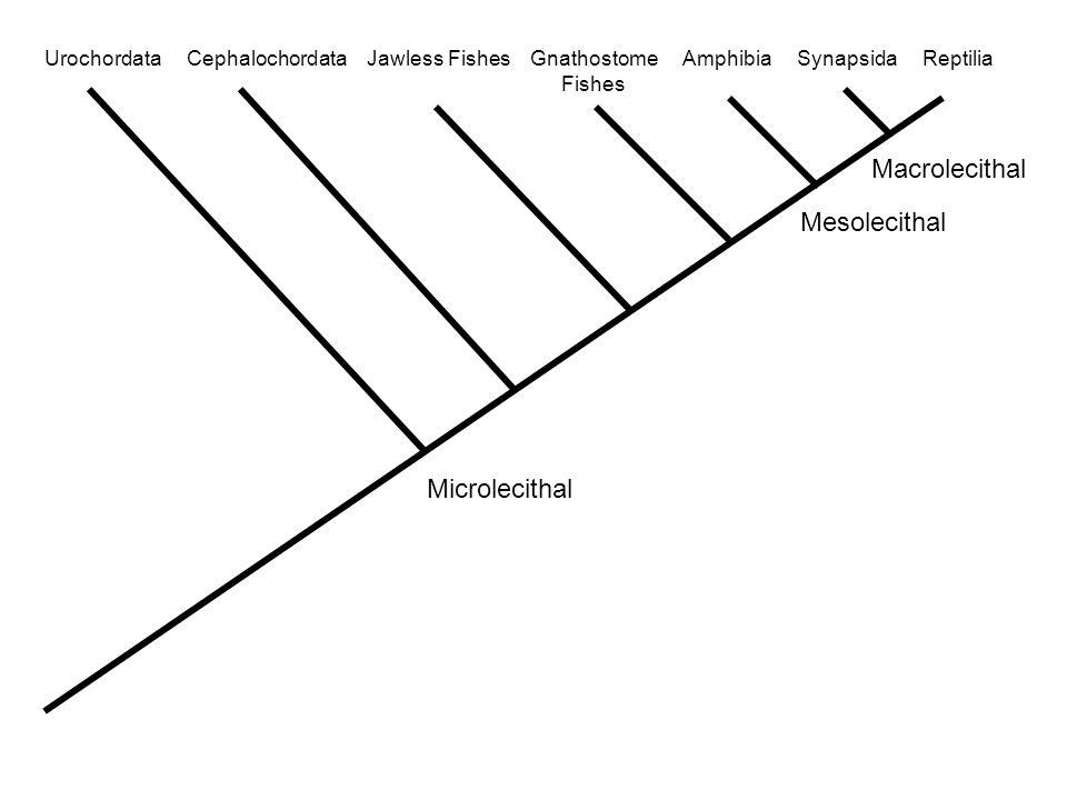 Urochordata Cephalochordata Jawless Fishes Gnathostome Amphibia Synapsida Reptilia Fishes Microlecithal Mesolecithal Macrolecithal