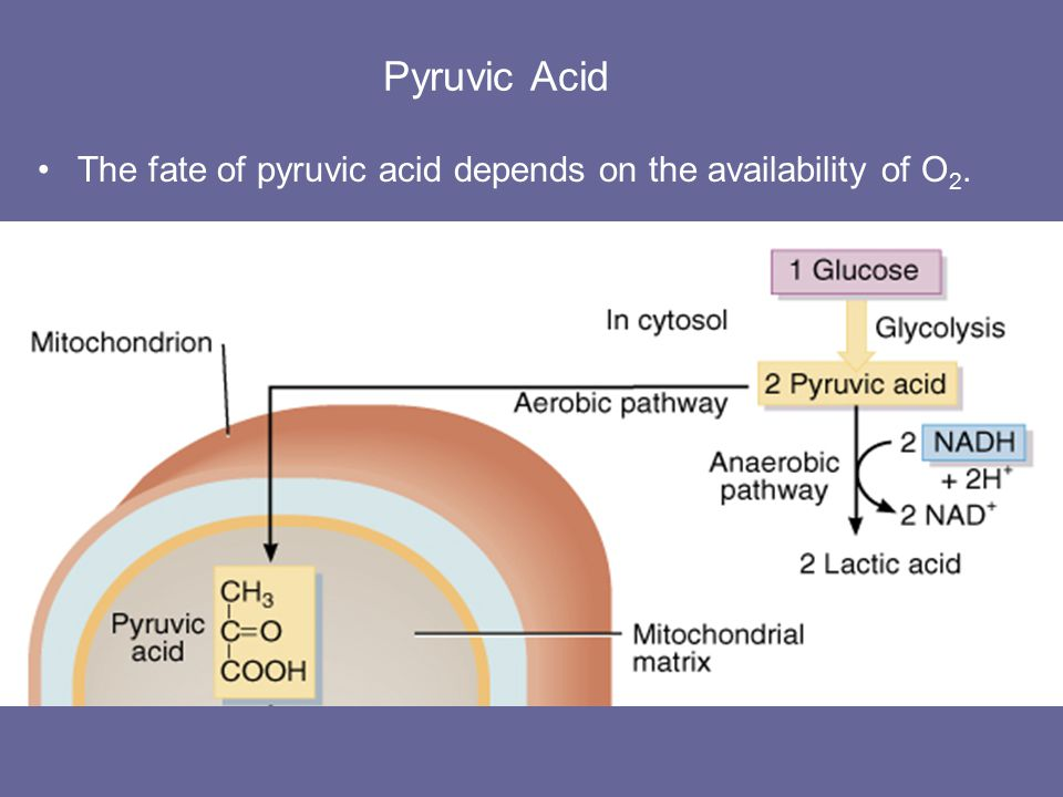 Glycolysis of Glucose & Fate of Pyruvic Acid When O2 falls short in a cell –pyruvic acid is reduced to lactic acid coupled to oxidation of NADH to NAD+ NAD+ is then available for further glycolysis –lactic acid rapidly diffuses out of cell to blood –liver cells remove lactic acid from blood & convert it back to pyruvic acid