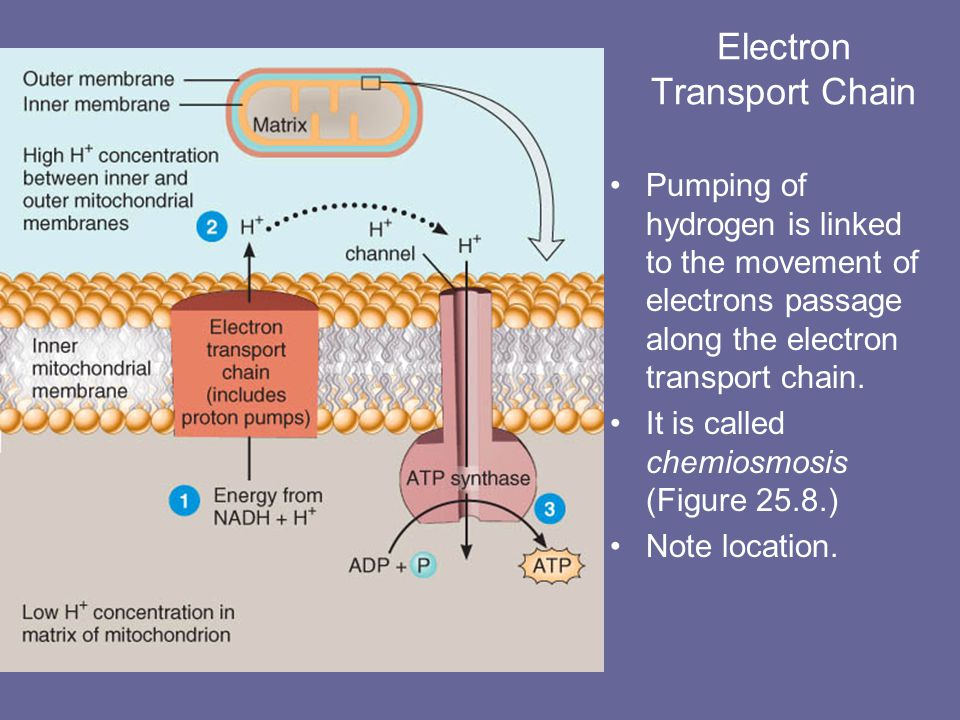 Electron Transport Chain The electron transport chain involves a sequence of electron carrier molecules on the inner mitochondrial membrane, capable of a series of oxidation-reduction reactions.