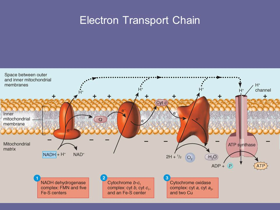 Chemiosmosis H+ ions are pumped from matrix into space between inner & outer membrane High concentration of H+ is maintained outside of inner membrane ATP synthesis occurs as H+ diffuses through a special H+ channels in the inner membrane