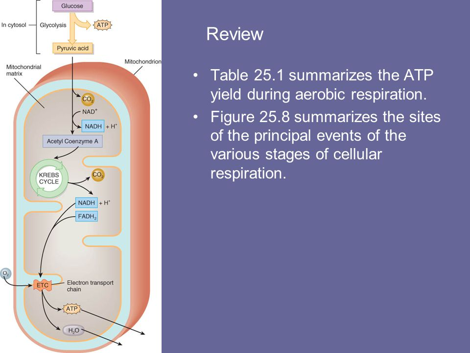 Summary of Aerobic Cellular Respiration The complete oxidation of glucose can be represented as follows: C 6 H 12 O 6 + 6O 2 => 36 or 38ATP + 6CO 2 +6H 2 O During aerobic respiration, 36 or 38 ATPs can be generated from one molecule of glucose.