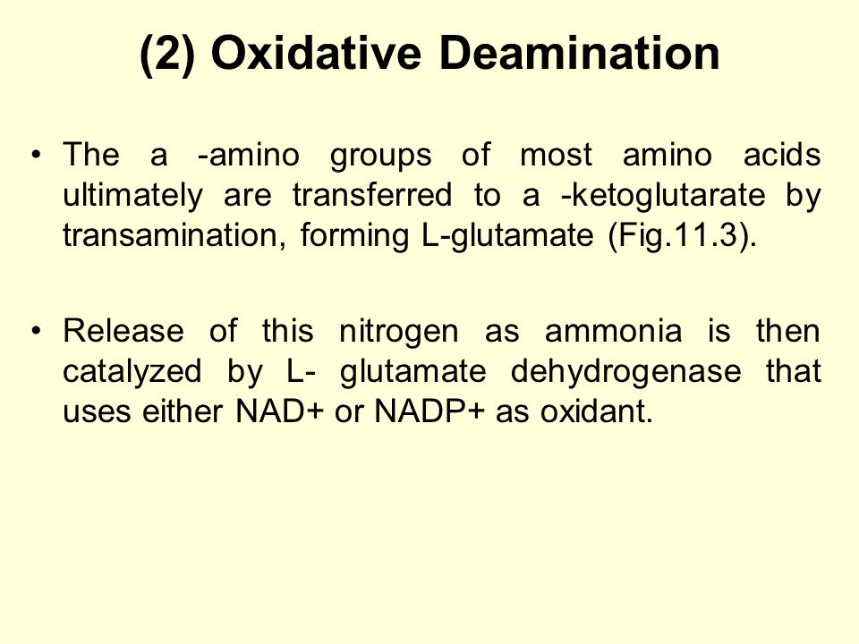 (2) Oxidative Deamination The a -amino groups of most amino acids ultimately are transferred to a -ketoglutarate by transamination, forming L-glutamate (Fig.11.3).