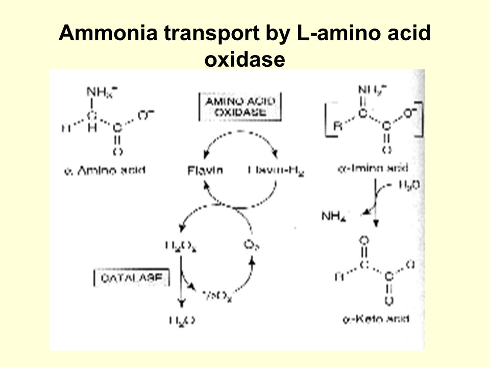 Ammonia transport by L-amino acid oxidase