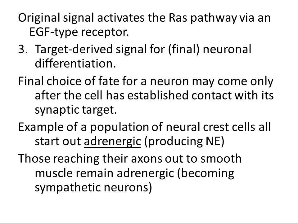 Original signal activates the Ras pathway via an EGF-type receptor.