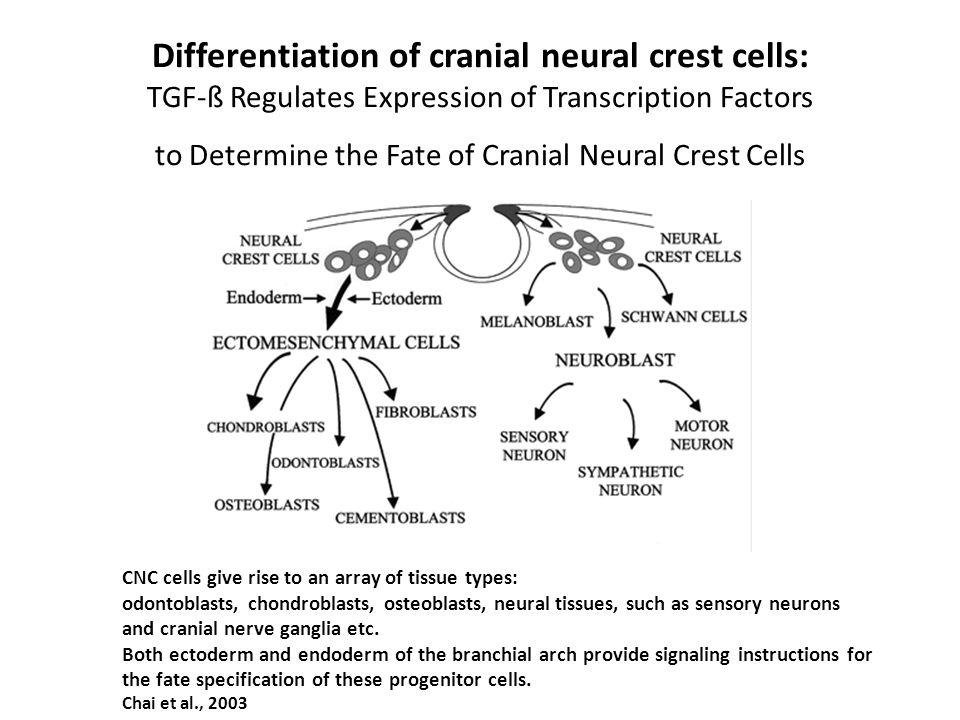 Differentiation of cranial neural crest cells: TGF-ß Regulates Expression of Transcription Factors to Determine the Fate of Cranial Neural Crest Cells CNC cells give rise to an array of tissue types: odontoblasts, chondroblasts, osteoblasts, neural tissues, such as sensory neurons and cranial nerve ganglia etc.
