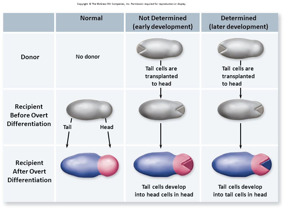 3 Donor No donor Recipient Before Overt Differentiation Recipient After Overt Differentiation NormalNot Determined (early development) Determined (later development) Tail cells are transplanted to head Tail cells develop into head cells in head Tail cells develop into tail cells in head Tail cells are transplanted to head TailHead Copyright © The McGraw-Hill Companies, Inc.
