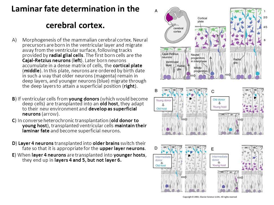Laminar fate determination in the cerebral cortex.