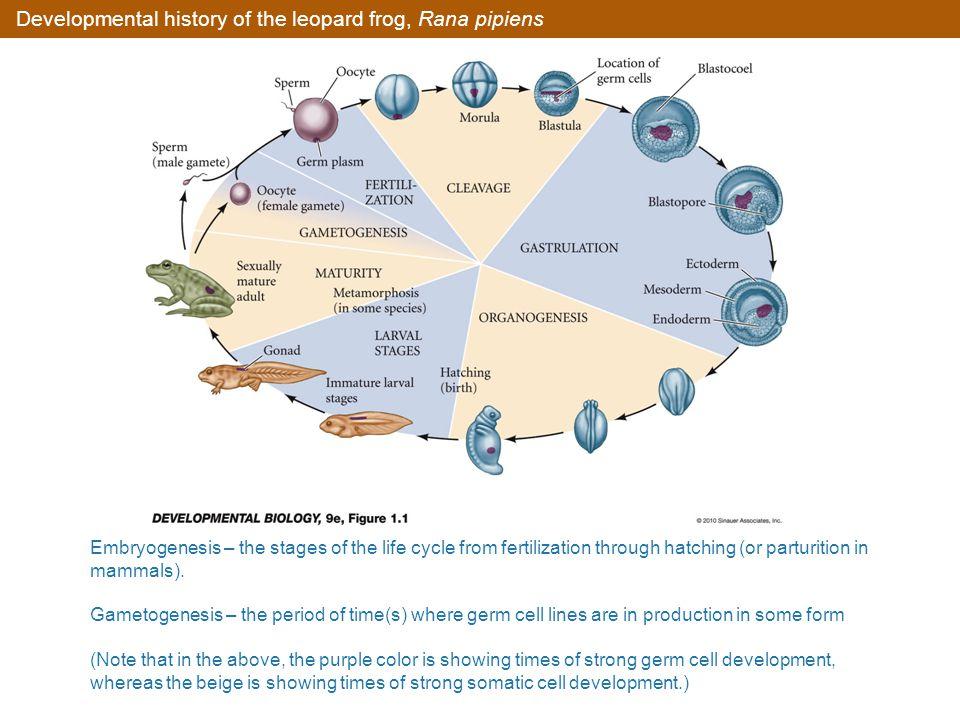 Depictions of chick developmental anatomy (Part 4)